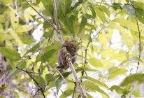 Tarsier filipino en árbol en la isla Bohol, Filipinas, sudeste asiático, Asia - foto de stock