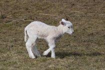 Білі вівці ягняти ходіння по трав'янистих пасовища — стокове фото