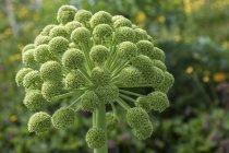 Grün-Angelica Blütenstand der Pflanze, Nahaufnahme — Stockfoto