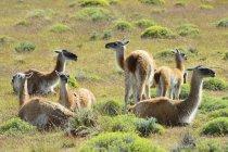 Стадо тарука, відпочиваючи в траві, Торрес дель Пайне Національний парк, Патагонії, Чилі, Південна Америка — стокове фото
