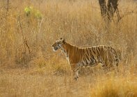 Bengal tiger standing in meadow of Maharashtra, India, Asia — Stockfoto