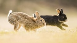 Two European rabbits playing in meadow, close-up. — Foto stock