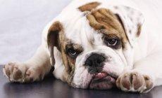 Bulldog inglês deitado no chão e olhar cansado — Fotografia de Stock