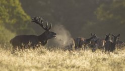 Red deer stag with herd on meadow in Zealand, Denmark, Europe — Stock Photo