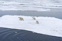 Полярный медведь с медвежатами, перемещение между льдин, Шпицберген, Норвегия, Европа — стоковое фото