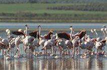 Greater flamingos bathing at Laguna de Fuente de Piedra, Malaga province, Andalusia, Spain — Stock Photo