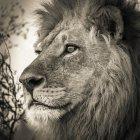 Портрет мужчины Льва в Африке Окаванго Дельта, Ботсвана, — стоковое фото