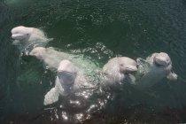 Белуга китів вдивляючись від Японського моря води — стокове фото
