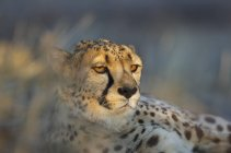Cheetah resting in evening light, Namibia — Stock Photo