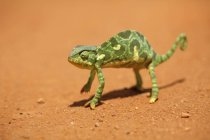 Flap-necked chameleon lizard on red dirt, Kenya, Africa — Stock Photo