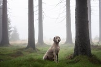 Weimaraner hunting dog sitting in foggy forest. — Stock Photo