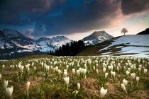 Crocuses in meadow of Alpstein area, Stockberg, Saentis, Swiss Alps, Switzerland, Europe — Stock Photo