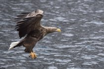 White-tailed eagle flying and hunting over water. — Stock Photo