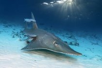 Giant Guitarfish with Live sharksuckers over sea bottom, Maldives, Indian Ocean, Asia — Stock Photo