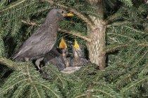Amsel Nest mit Küken in Tanne gehockt — Stockfoto