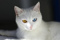 Weiße Katze mit anderen farbigen Augen, Porträt — Stockfoto