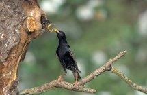 Gemeinsamen Starling Fütterung Küken im hohlen Baum — Stockfoto
