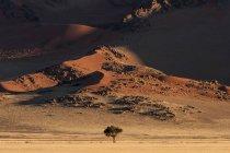 Sand dunes with camel thorn tree in evening light, Sossusvlei, Namib Desert, Namibia — Stock Photo
