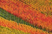 Natural pattern of autumnal vineyards in Baden-Wurttemberg, Germany, Europe — Stock Photo