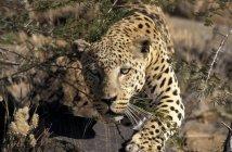 Макро leopard що крадеться в пустині Намібії, Африка — стокове фото