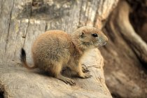 Black-tailed prairie dog sitting on wood, close-up — Stock Photo