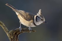 Crested tit sitting on dried branch — Stock Photo