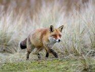Red fox охота в болотистые луга — стоковое фото