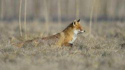 Red fox охота в сухой траве, вид сбоку — стоковое фото