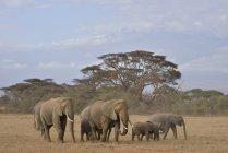 Стадо слонов африканского Буша, ходить в Национальный парк Амбосели, провинции Рифт-Валли, Кения, Африка — стоковое фото