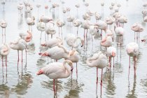 Greater flamingos in water of Ornithological Park of Pont de Gau in France, Europe — Stock Photo