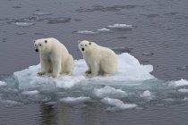 Polar bears sitting on ice floe in pack ice, Spitsbergen, Norway, Europe — Stock Photo