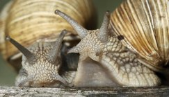 Two snails in shells, close-up — Stock Photo