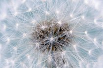 Dandelion white blowball of flower, close-up — Stock Photo