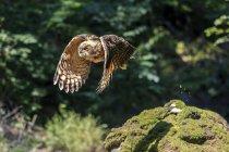 Eurasian eagle-owl flying in forest — Stock Photo