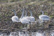 Кликун лебеди на собранные Нива водой — стоковое фото