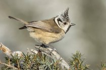 Crested tit perched on branch of juniper bush — Stock Photo