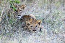 Filhotes de leão, observando de esconder o lugar, Parque Nacional de South Luangwa, Zâmbia, África — Fotografia de Stock