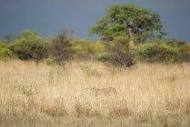 Gepard getarnt im hohen Grass und Jagd, Nxai Pan Nationalpark, Ngamiland District, Botswana, Afrika — Stockfoto