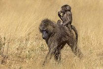 Olive baboon baby riding on female animal in Kenya, Africa — Stock Photo