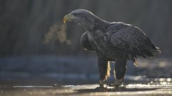 White-tailed eagle standing in shallow water of pond — Stock Photo