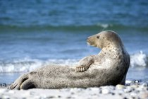 Grey seal relaxing on beach, side view — Stock Photo