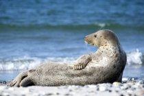 Cinza do selo relaxando na praia, vista lateral — Fotografia de Stock