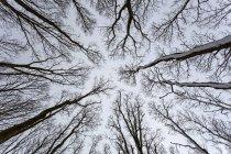 Cime des arbres nus en Khlungsborn, Mecklembourg-Poméranie occidentale, Allemagne, Europe — Photo de stock