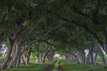 Avenue with old lined trees in park of Mahebourg, Mauritius, Africa — Stock Photo