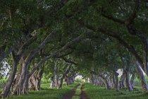 Проспект з старих вишикувалися дерев у парку Mahebourg, Маврикій, Африка — стокове фото