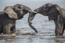 African bush elephants bathing in river, Chobe River, Chobe District, Botswana, Africa — Stock Photo