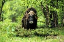 Muskox bull in green birch forest — стоковое фото