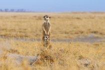Meerkats exemplar de vigia em campo na África — Fotografia de Stock