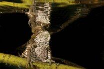 Общие жабы, спаривания на ветви дерева под водой — стоковое фото