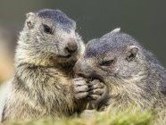 Marmotas, comendo juntos, close-up — Fotografia de Stock